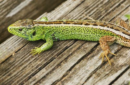 Zauneidechse, Sand lizard, Lacerta agilis