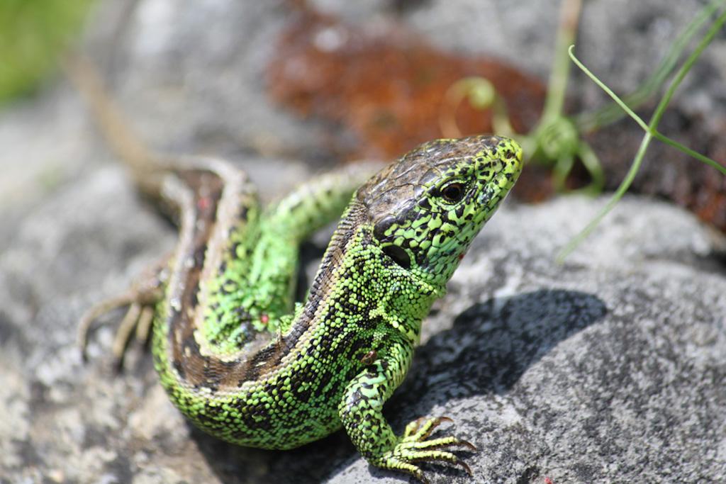 Eidechse Gecko Reptil Schlüsselbrett Garderobenhaken Metall Geschenk Deko TOP