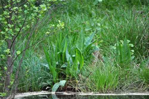 04_Flussampfer_Naturpark Barnim