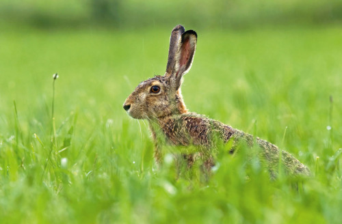 Photo of brown hare sitting in a grass