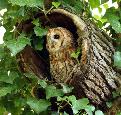 Tawny Owl in hollow tree stump