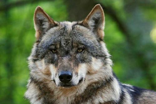 01_Wolf_ThomasPusch